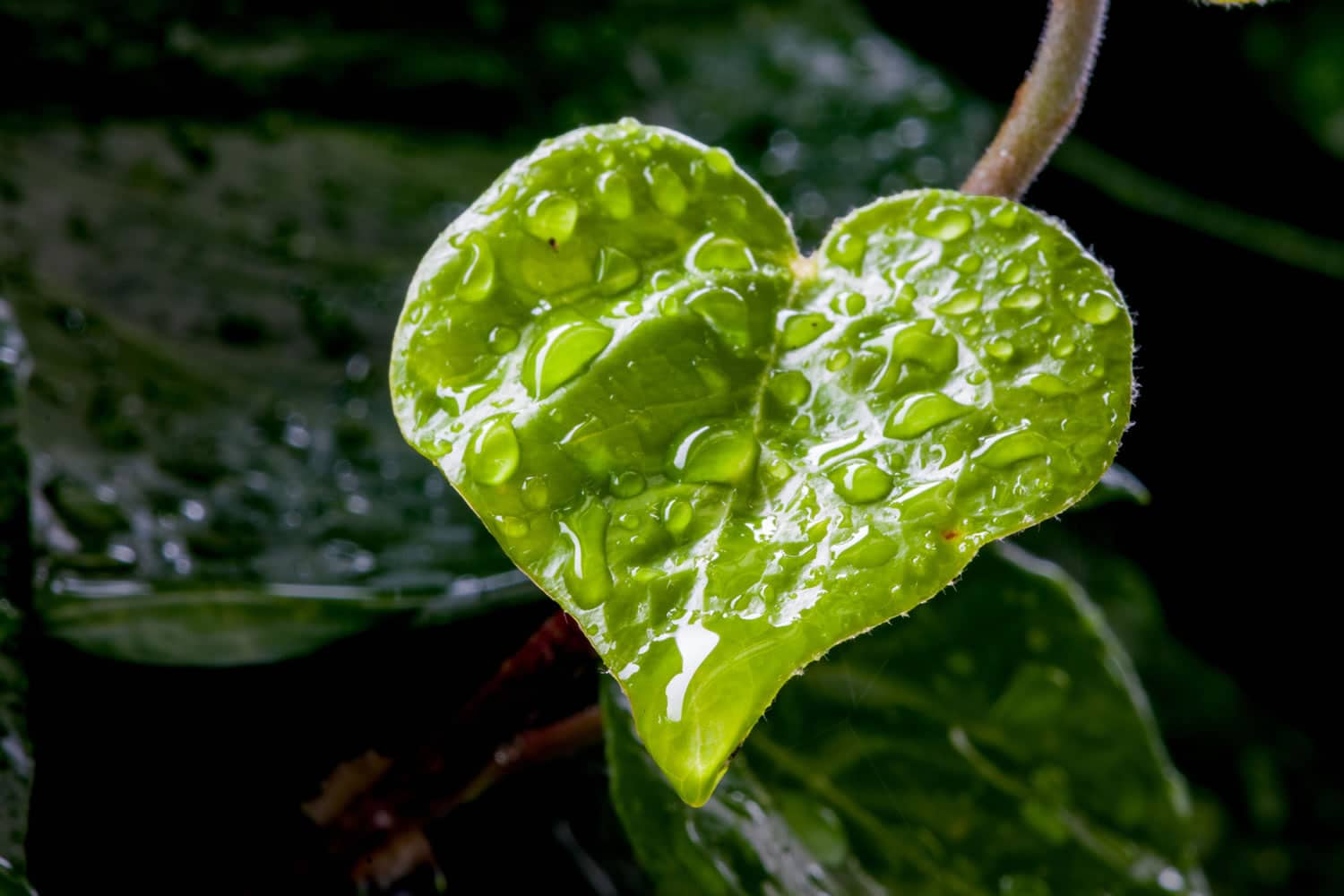 Heart-shaped leaf with water droplets
